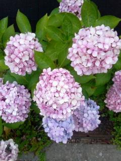 うそのよな 十六桜 咲きにけり